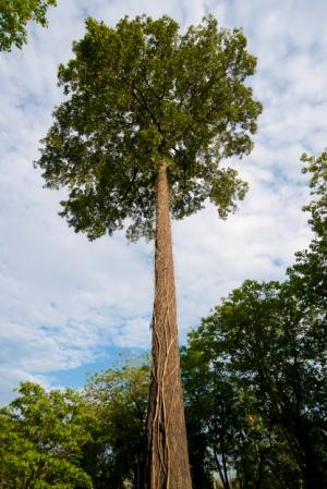One of the most commercialized trees from the Amazon rainforest is the Brazil nut (Bertholletia excels). The Brazil nut is a large canopy tree ... : large canopy trees - memphite.com