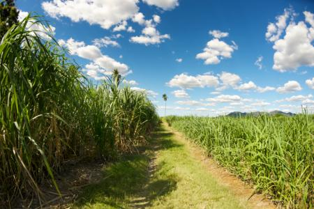 Sugar cane, Palm oil, and Biofuels in the Amazon | Global Forest Atlas